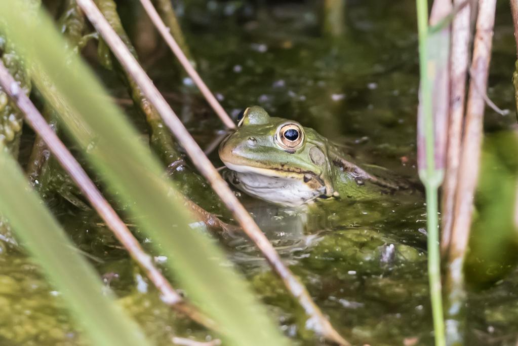 grenouille verte 1-1177