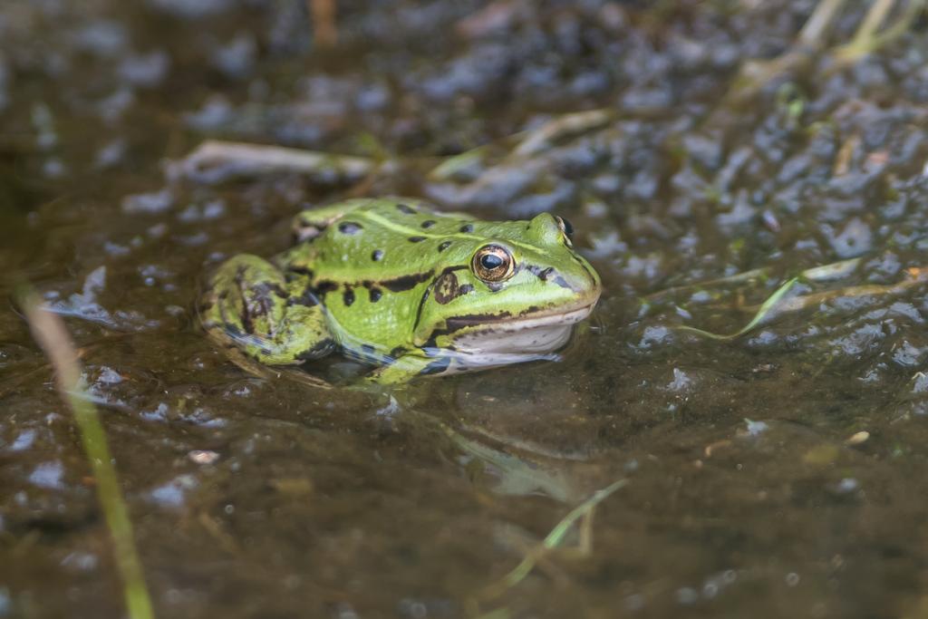 grenouille verte 1-1181