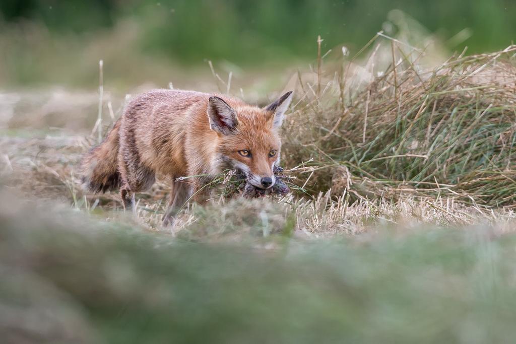 renard chassant apres la fauche du pré 31-1594