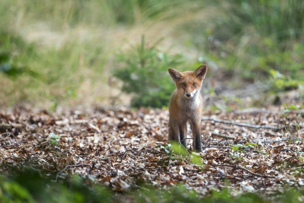 jeune renard 1-3639
