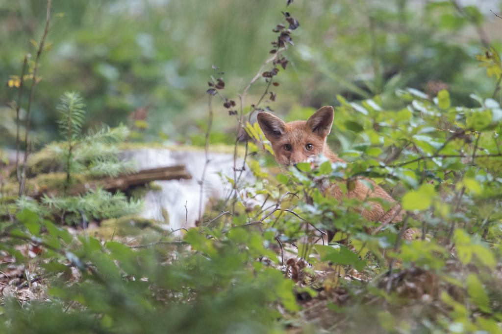 jeune renard 1-3649