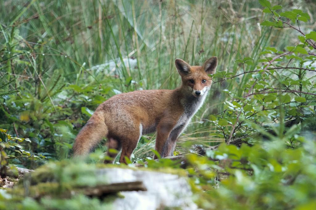 jeune renard 1-3651