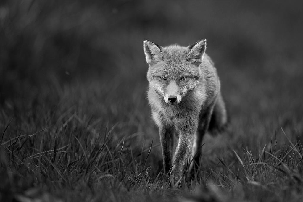 renard roux 1-4357-nb