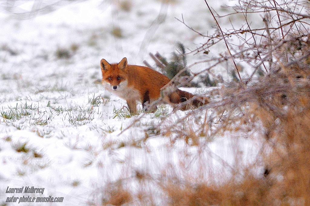renard a l'affut dans la neige 1