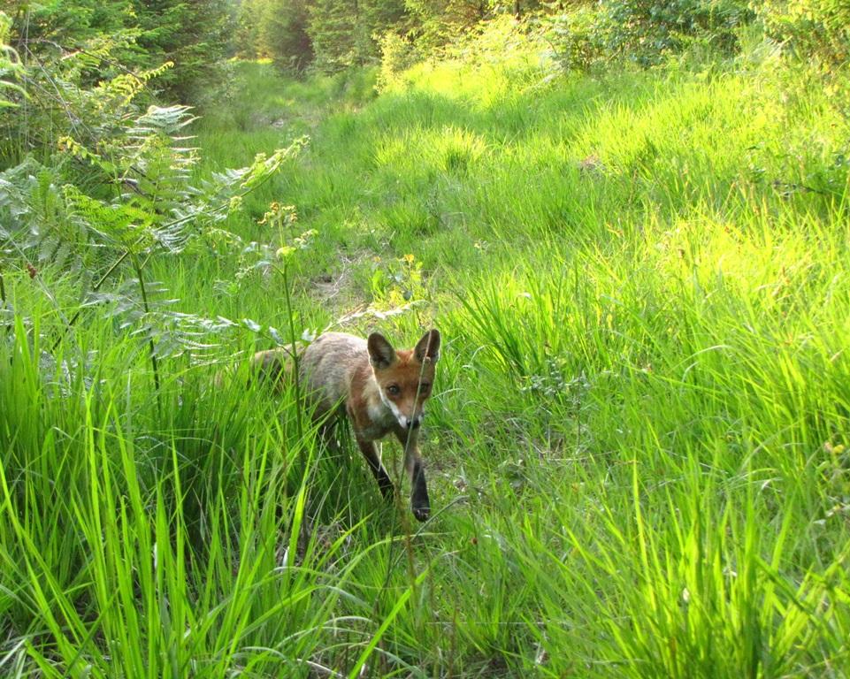 renards et autres carnivores