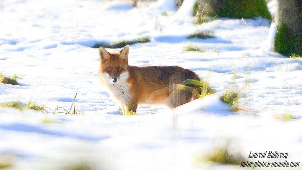 renard surgit dans la neige