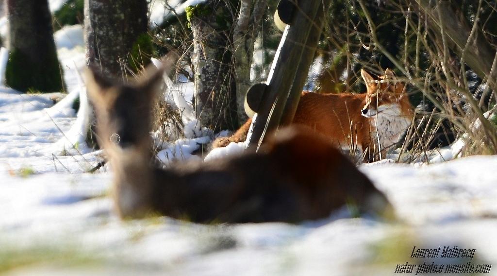 renard passe derriere le chevreuil qui se repose