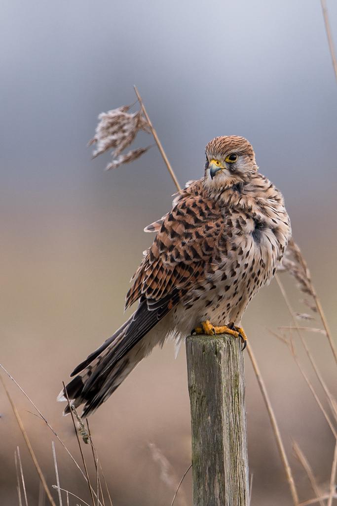 faucon crécerelle D81_1314
