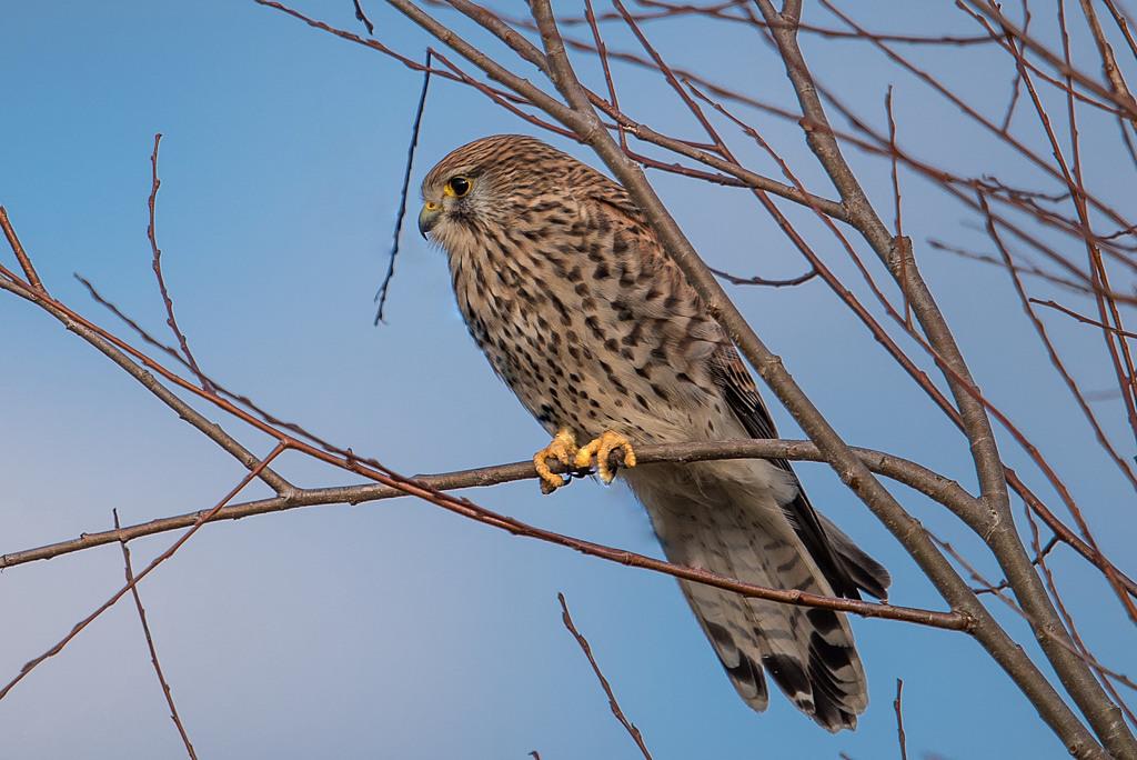 faucon crécerelle D81_1812