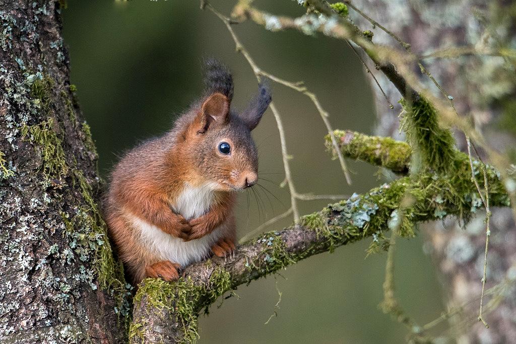 jeune ecureuil D81_4680