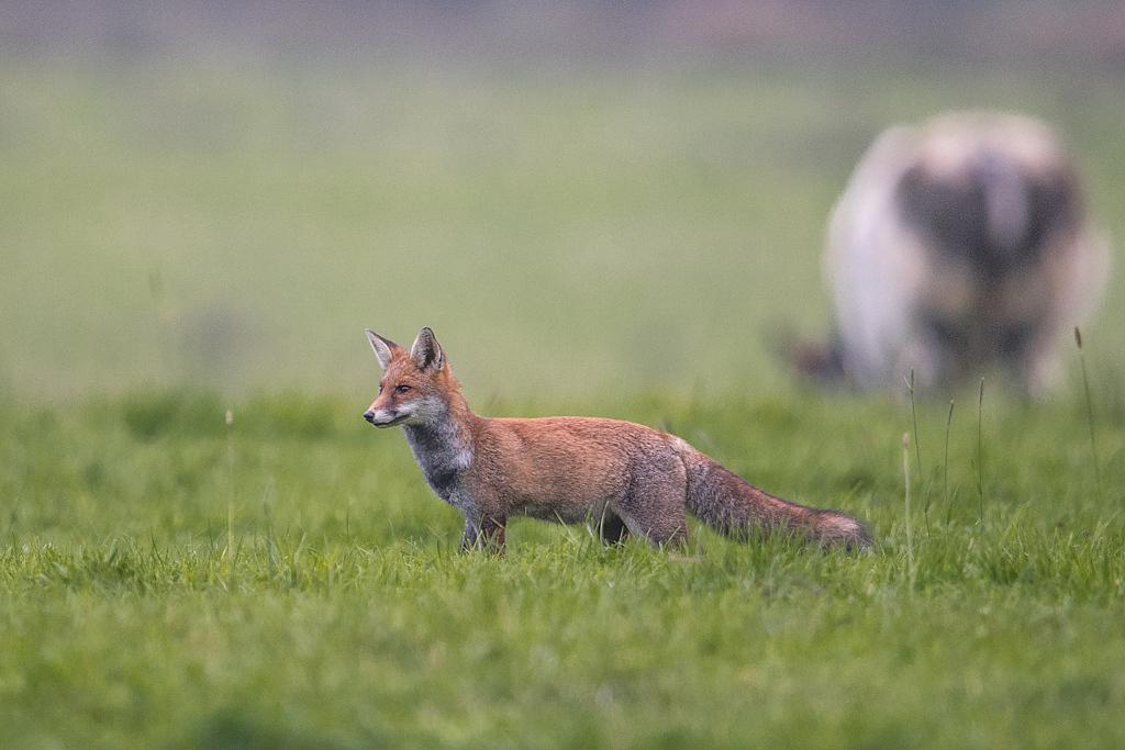 renard roux D81_5115