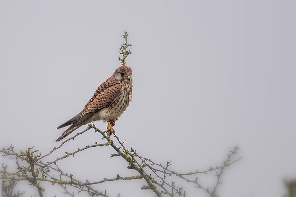 oiseaux : rapaces