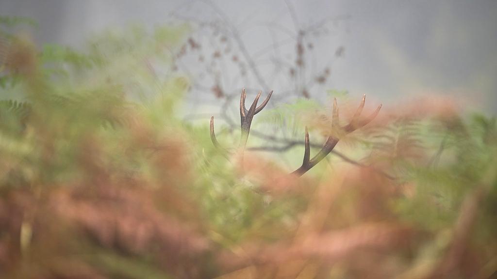 cerfs caché dans les fougères aigle D82_7543