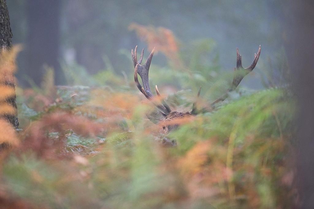cerfs caché dans les fougères aigle D82_7555