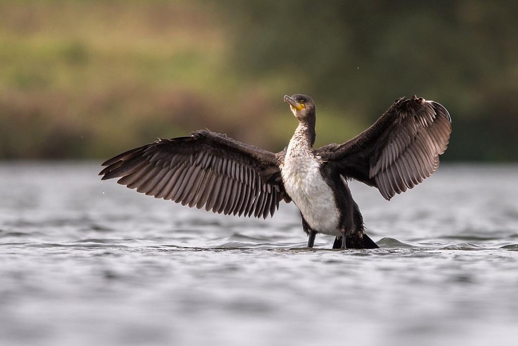 cormoran D82_8302