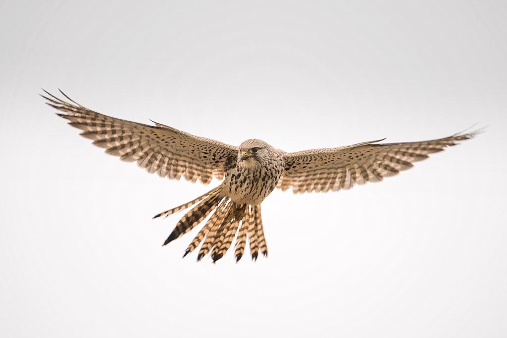 faucon crecerelle D82_8874