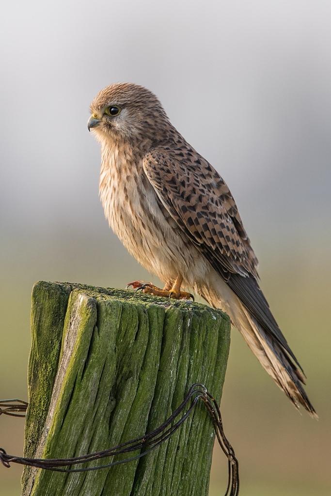 faucon crécerelle femelle D82_9152