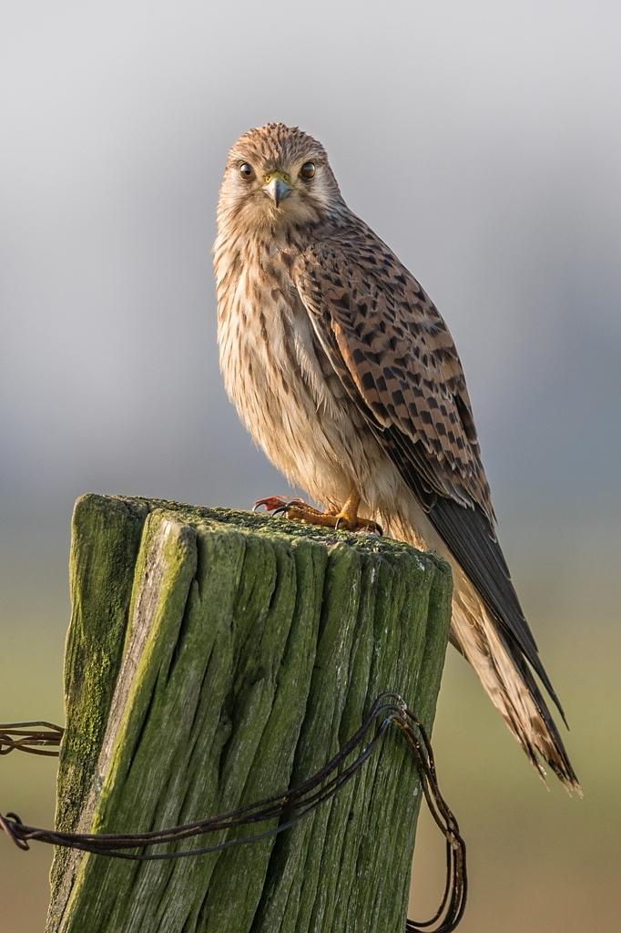 faucon crécerelle femelle D82_9166