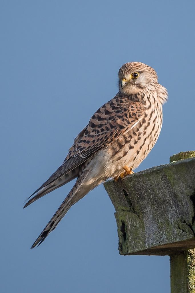 faucon crécerelle femelle D82_9188