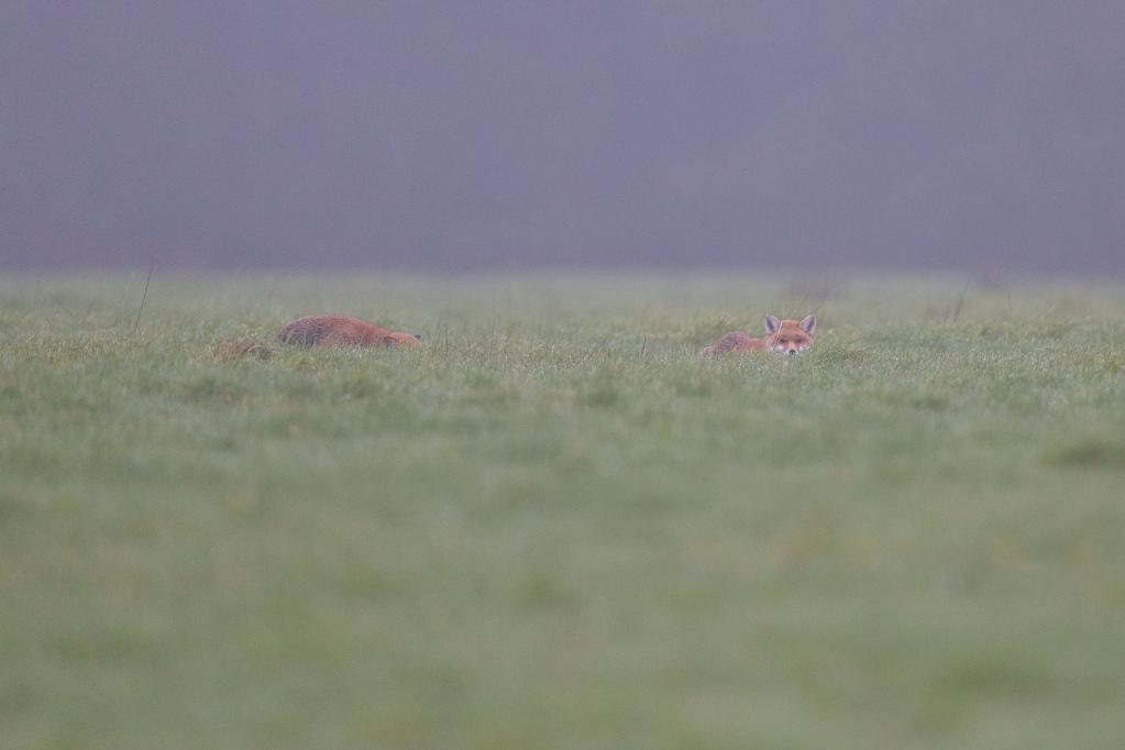couple de renard couchés DS2_0460