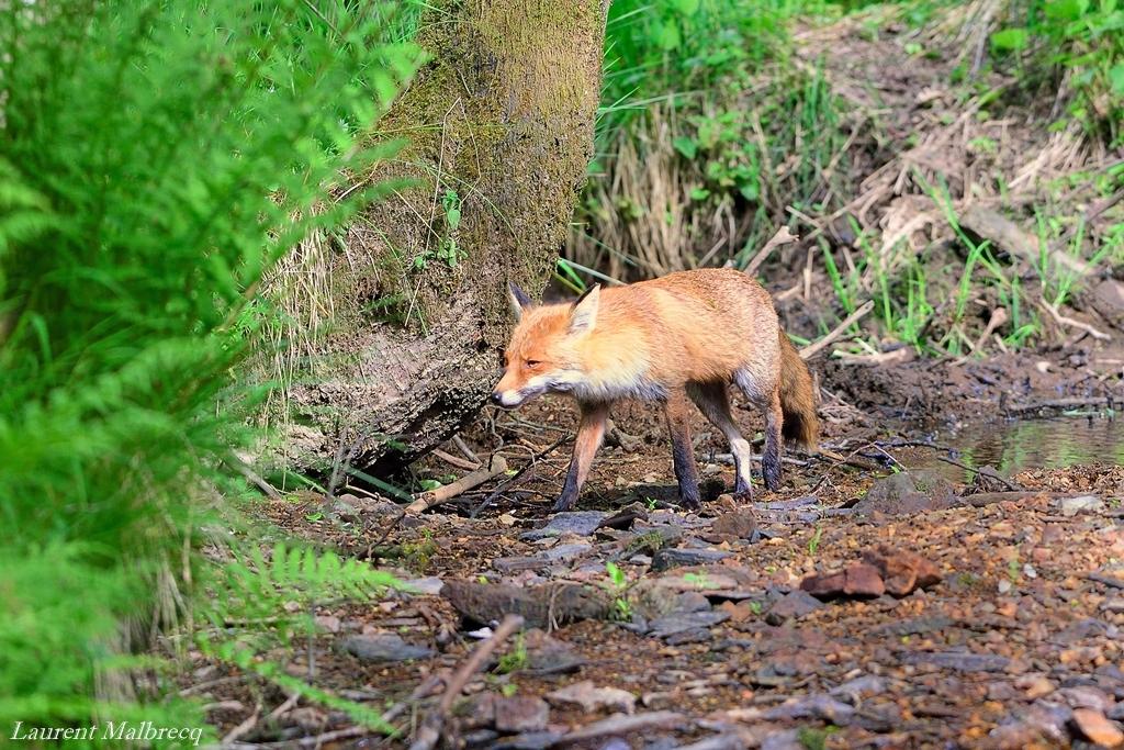 renard chassant le long de la riviere