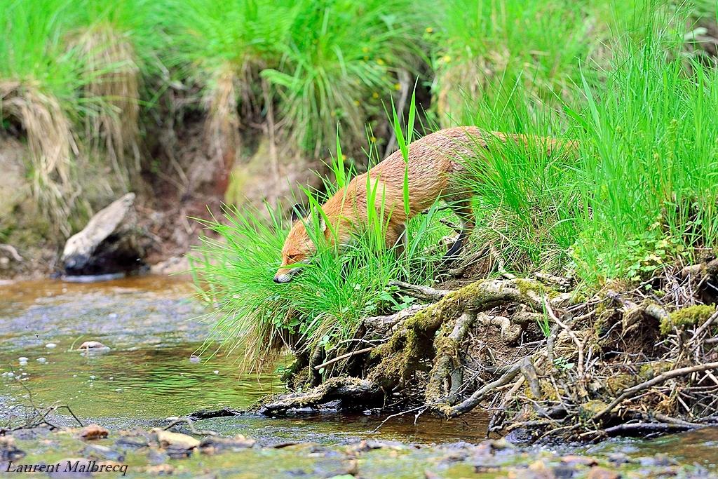 renard en bord de riviere