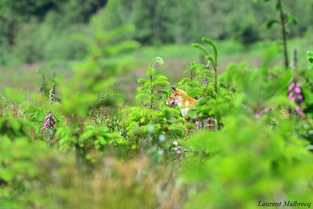 renard assis au milieu des sapins