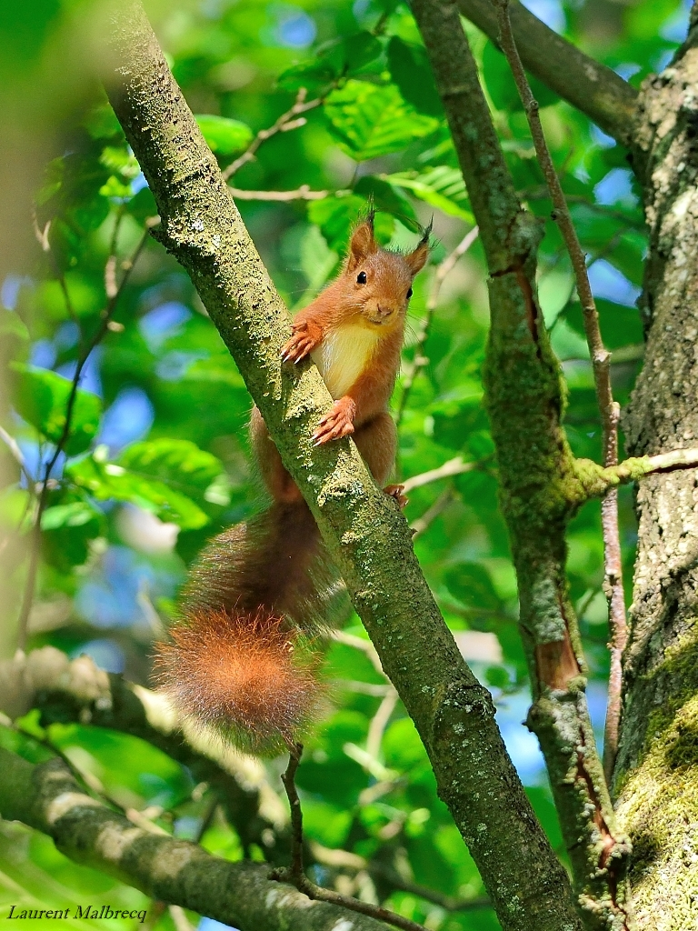 ecureuil en juin