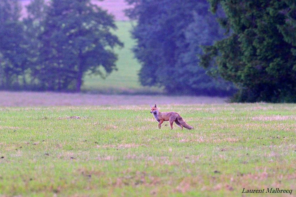renard au crepuscule