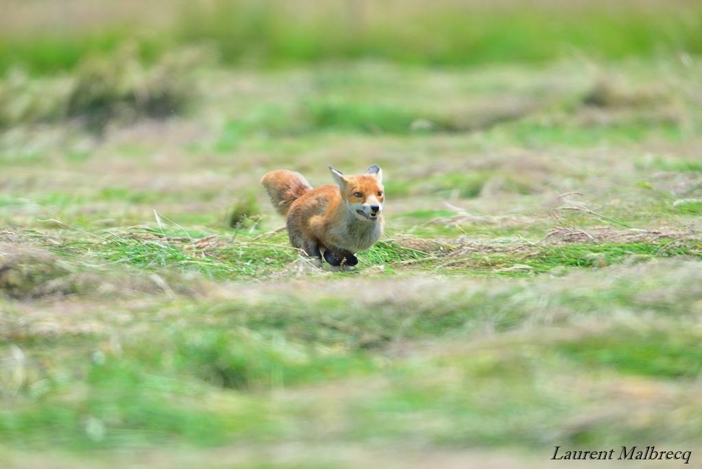 renard en fuite ! bipbip