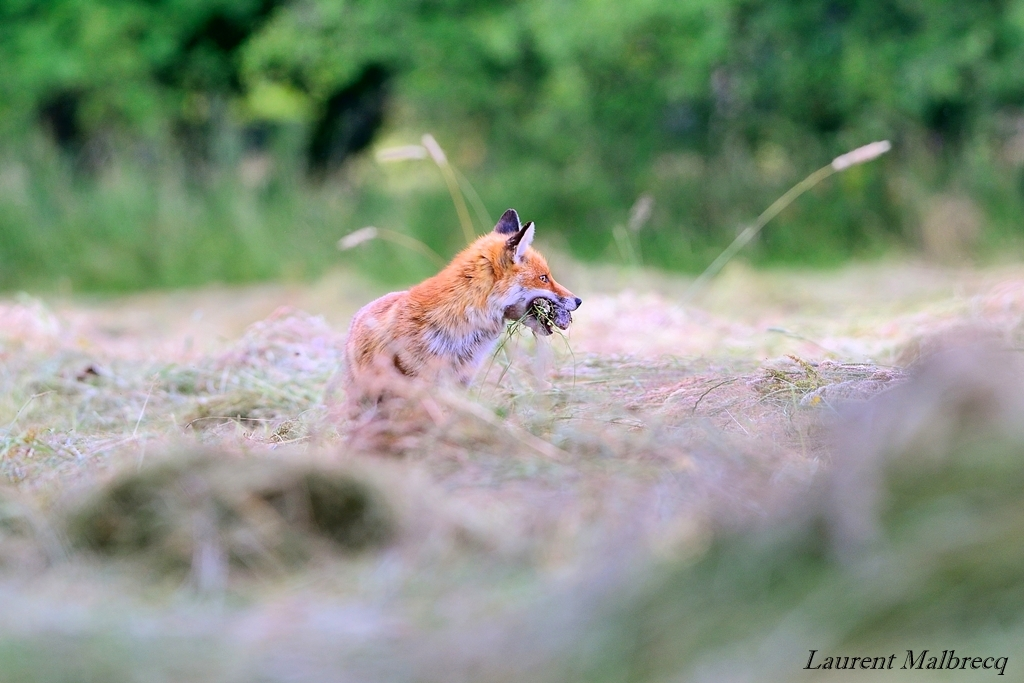 renard chassant apres la fauche du pré 2