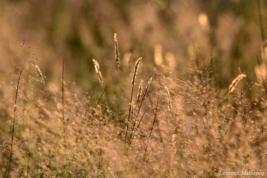 herbes en contre jour