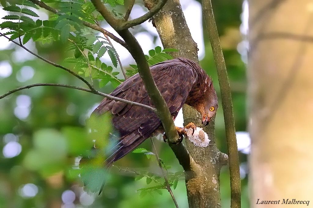 bondrée apivore degustant un nid de guêpes 1