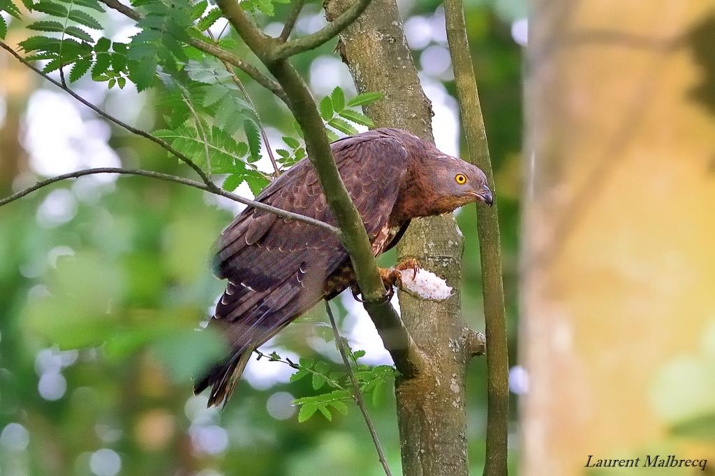bondrée apivore degustant un nid de guêpes 2