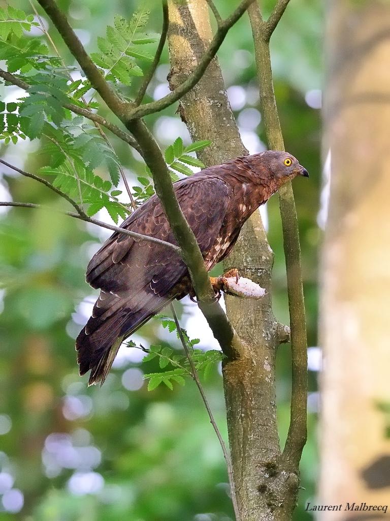 bondrée apivore degustant un nid de guêpes 3