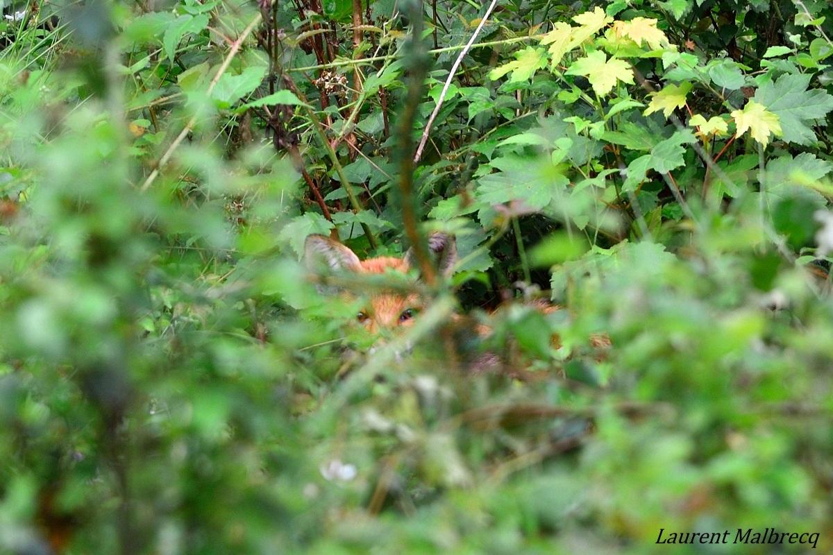 renard caché dans les ronces DSC_2461
