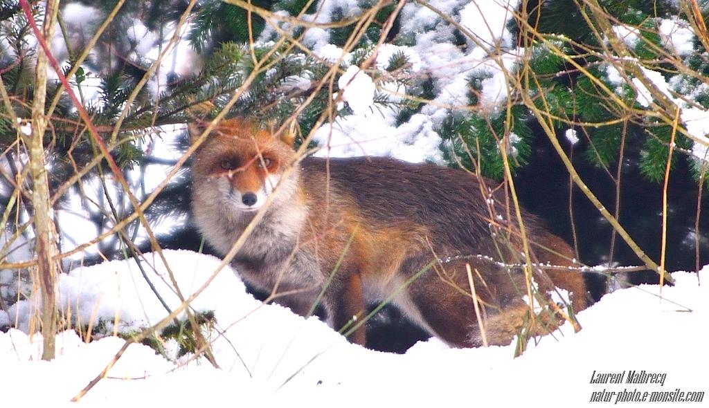 renard se cache dans les sapins