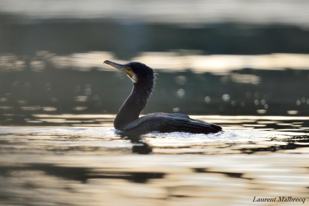 cormoran DSC_5697