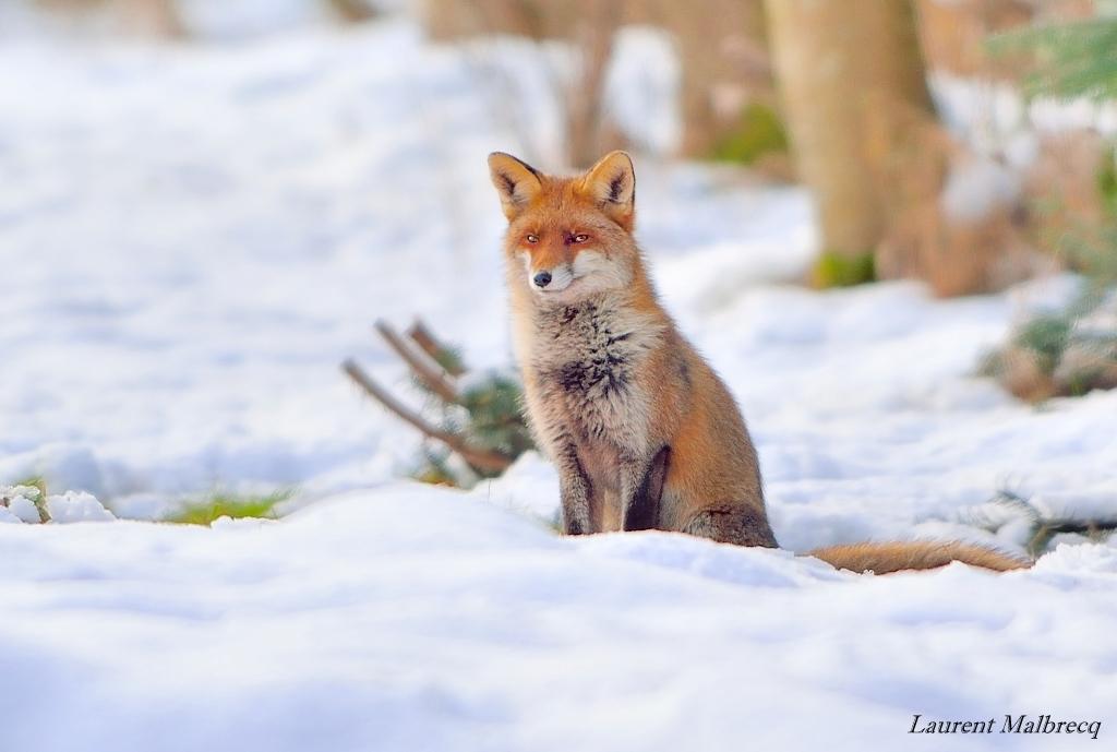 renard assis dans la neige