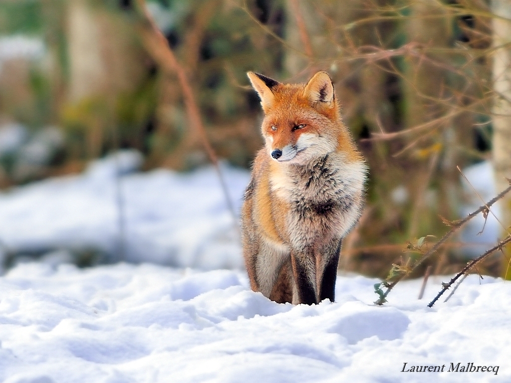 renard chasse dans la neige