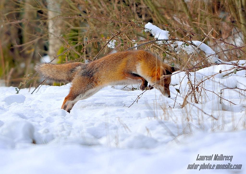 le saut du renard