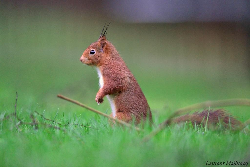 ecureuil au sol DSC_6116