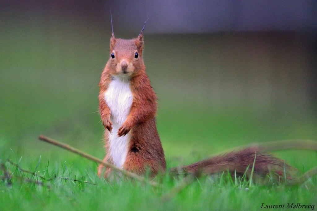 ecureuil roux DSC_6117