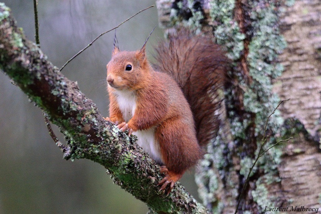 ecureuil dans un bouleau DSC_6122
