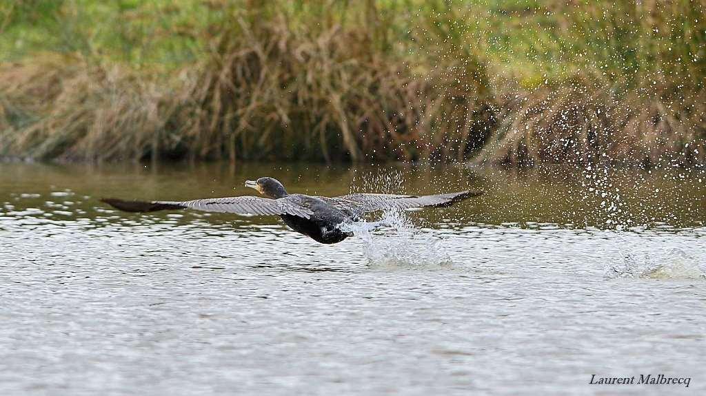 cormoran a l'envol