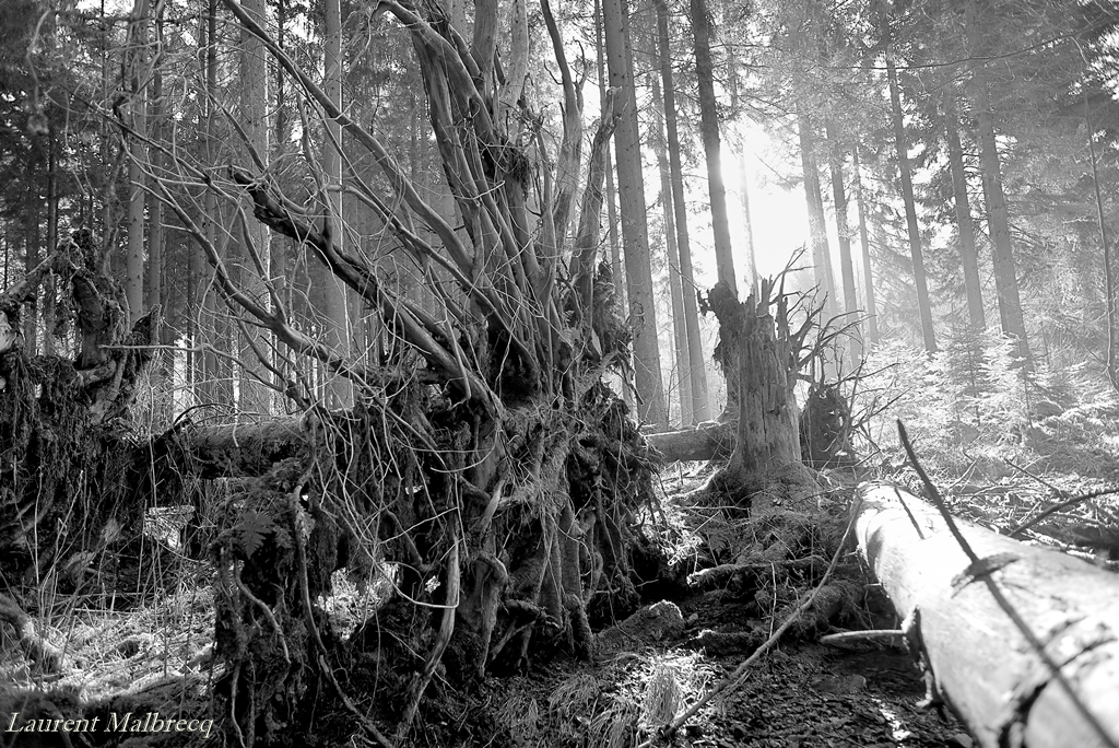 racines au vent