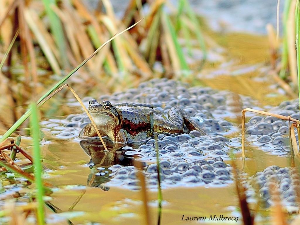 grenouilles sur ses oeufs