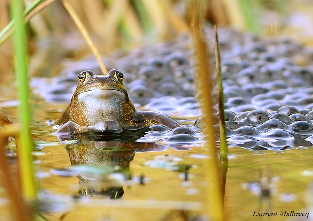 grenouilles 7