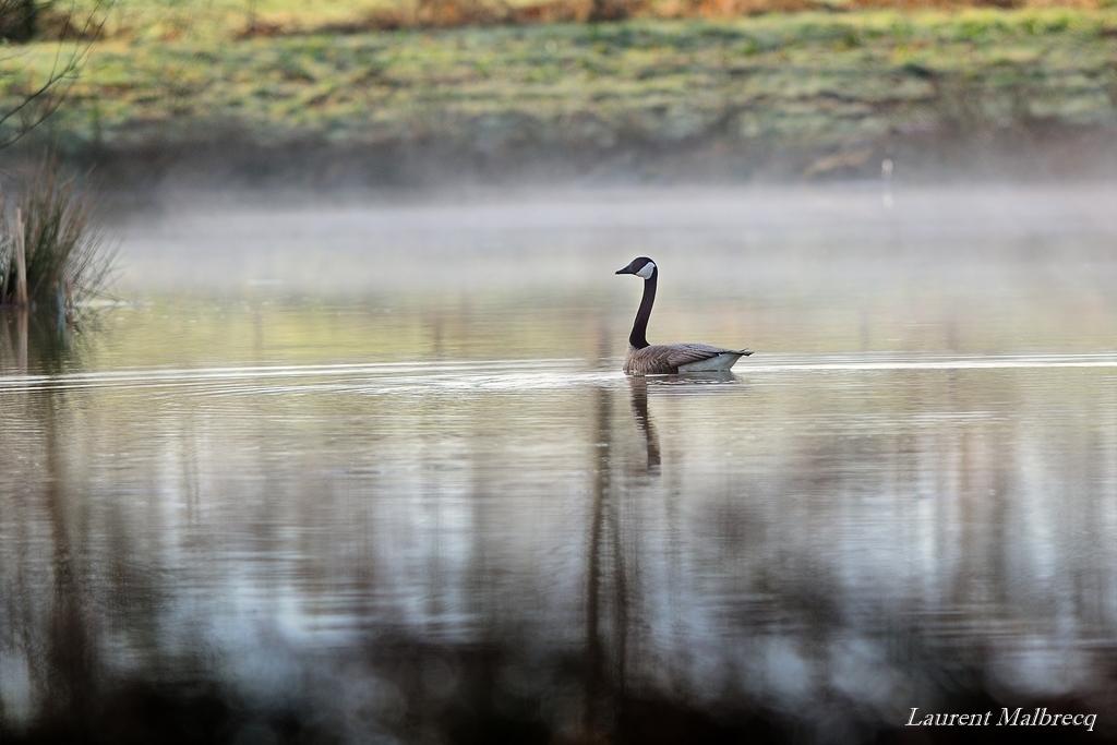 bernache dans la brume matinale fin avril