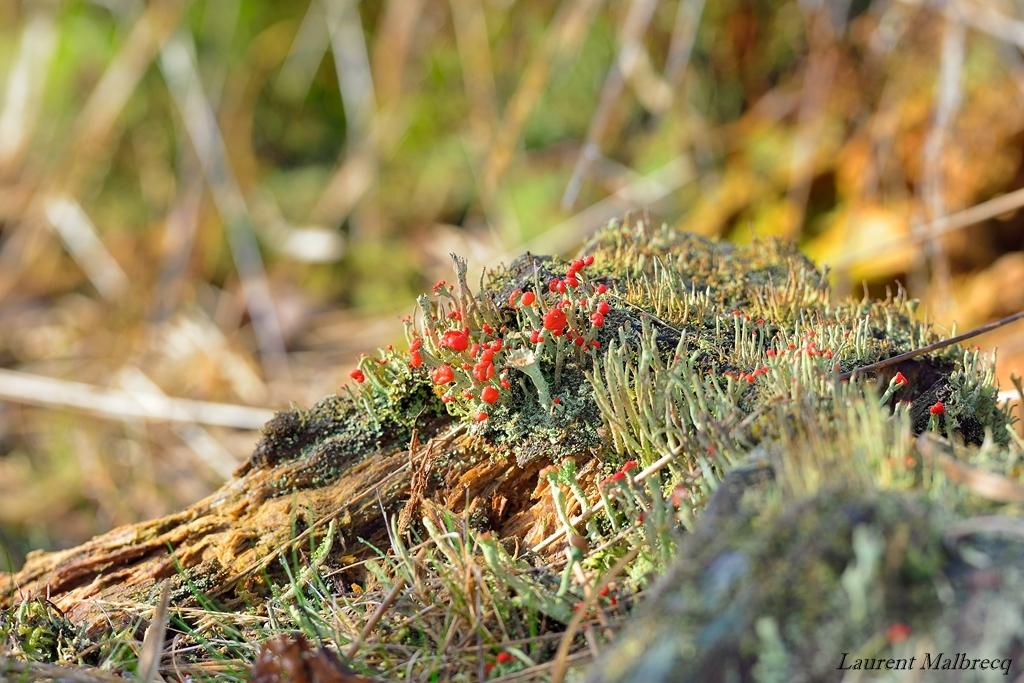 lichen en fleur sur une vielle souche